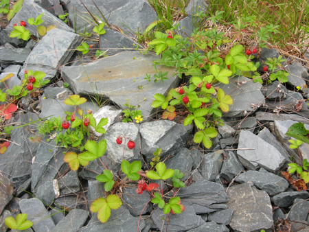 Wild Strawberry Vine Wild strawberries lurking